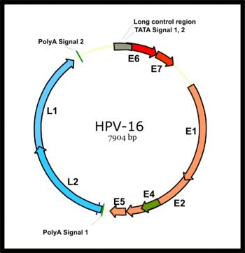 Genome Organization Of Human Papillomavirus Type 16