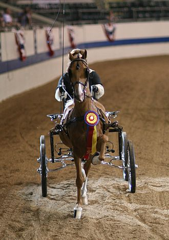Hackney pony - A Hackney cobtail pony.