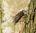 Haematopota pluvialis (Common or Notch-horned Cleg). Tabanidae. Female - Flickr - gailhampshire.jpg