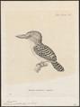 Halcyon pulchella - 1700-1880 - Print - Iconographia Zoologica - Special Collections University of Amsterdam - UBA01 IZ16800019.tif
