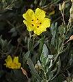 Halimium halimifolium Corse0.jpg