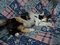 Harlequin patterned bicolor cats 5.JPG