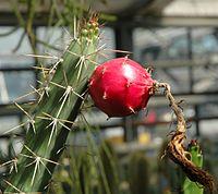 Harrisia guellichii fruit.jpg