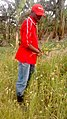 Harvesting millet.jpg