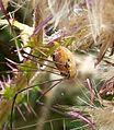 Harvestman.Opilones. Leiobunum rotundum - Flickr - gailhampshire.jpg