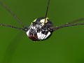 Harvestman (Opiliones) close-up (15457803241).jpg