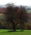 Hawthorn, Barnetts Demesne - geograph.org.uk - 1036322.jpg