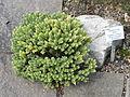 Hebe topiaria - Palmengarten Frankfurt - DSC01985.JPG
