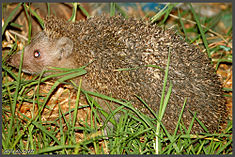 Hedgehog europe in israel efi elian.jpg