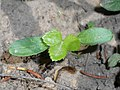 Helleborus cyclophyllus 2018-05-06 1728.jpg