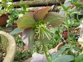 Helleborus purpurascens1.jpg