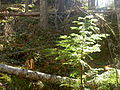 Hemlock on terrace mountain.JPG