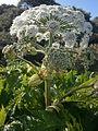 Heracleum mantegazzianum 002.JPG