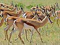 Herd of Springboks (Antidorcas marsupialis) (6857148464).jpg