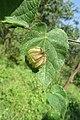 Herissantia crispa - Bladder Mallow at Theni (11).jpg