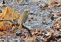Hermit Thrush (13634961853).jpg