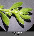 Herniaria hirsuta sl7.jpg