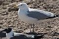 Herring Gull Brownsville TX 2018-03-21 14-16-43 (27105670338).jpg