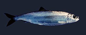 Underwater camouflage - The adult herring,Clupea harengus, is a typical silvered fish of medium depths.