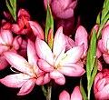 Hesperantha coccinea Fenland Daybreak1FYNU.jpg