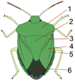 Heteroptera wings and shields.png