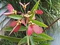 Heteropterys angustifolia - fruit - fruto.jpg