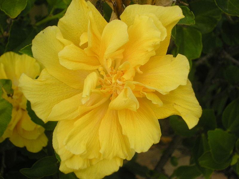 File:Hibiscus brackenridgei.JPG
