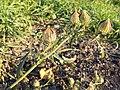Hibiscus trionum sl44.jpg
