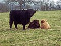 Highland Cattle near Sutton Waldron - geograph.org.uk - 375941.jpg