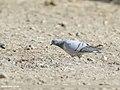Hill Pigeon (Columba rupestris) (45685483091).jpg