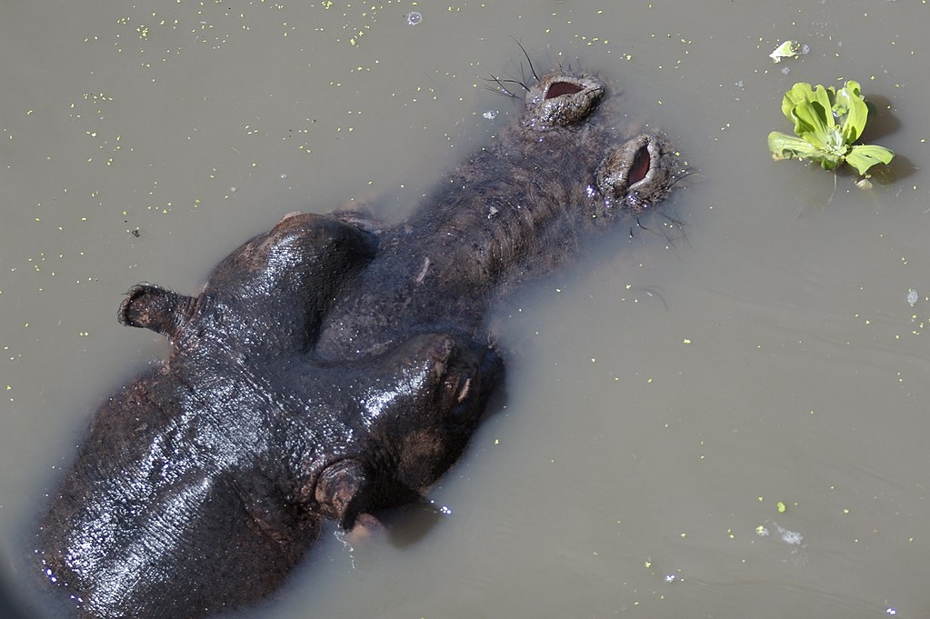 Mostly submerged hippo with exposed eyes, ears, and nostrils