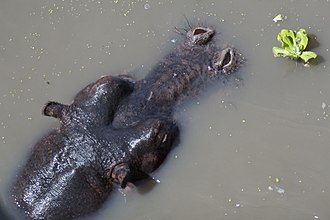 Hippopotamus - Mostly submerged hippo with exposed eyes, ears, and nostrils