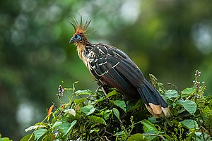 Hoatzin - At Manu National Park, Peru