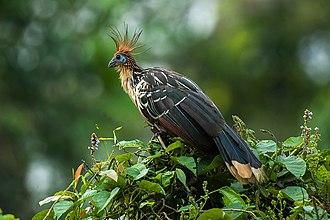 Hoatzin - At Manu National Park, Peru