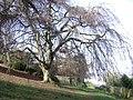 Homeyards Botanic Garden, Weeping Beech - geograph.org.uk - 1195627.jpg