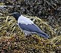 Hooded Crow 2 (37378534086).jpg