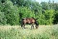 Horse in Voronezh Oblast.JPG