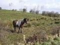 Horse in field - geograph.org.uk - 1201413.jpg
