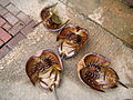 Horseshoe crabs in Hongkong.jpg