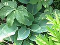 Hosta Halcyon - Flickr - peganum (1).jpg