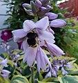 Hosta flower with bee.jpg