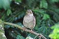 House Sparrow (10529286756).jpg