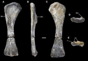 """Bothriospondylus - Humerus of """"B. madagascariensis"""" (Vouivria)"""