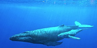 Humpback whale - Female Humpback whale with her calf