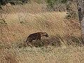 Hyène tachetée a la Pendjari.jpg