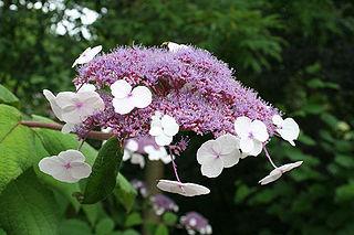 <i>Hydrangea aspera</i> species of plant
