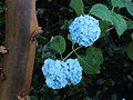 Hydrangea macrophylla 04.JPG