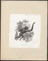 Hylobates variegatus - 1700-1880 - Print - Iconographia Zoologica - Special Collections University of Amsterdam - UBA01 IZ19800111.tif