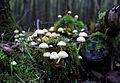 Hypholoma-fasciculare,-Yellow-Sulphur-Tuft, Habitat.jpg