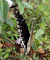 Hypolimnas bolina - Great Eggfly at Thillankeri 03.JPG